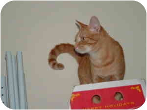 Domestic Shorthair Cat for adoption in McDonough, Georgia - Honey