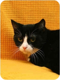Domestic Shorthair Cat for adoption in Port Hope, Ontario - Buttons