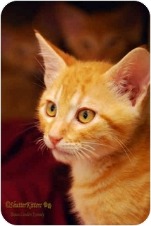 Domestic Shorthair Kitten for adoption in San Diego, California - Tiger Pants