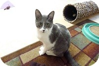 Domestic Shorthair Cat for adoption in Tustin, California - Dexter