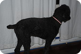 Standard Poodle Dog for adoption in Ogden, Utah - Vaughn