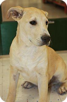 Labrador Retriever/Husky Mix Puppy for adoption in Phoenix, Arizona - Shane