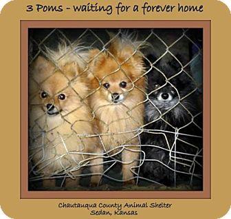 Pomeranian Mix Dog for adoption in Sedan, Kansas - Pac