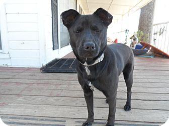 Australian Cattle Dog/Labrador Retriever Mix Dog for adoption in Eustace, Texas - Ivy