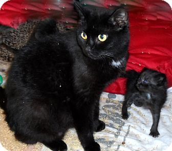 Domestic Shorthair Cat for adoption in Xenia, Ohio - Jessica