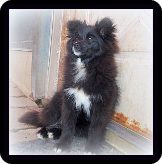Papillon/Pomeranian Mix Dog for adoption in Medford, Wisconsin - RYLIE