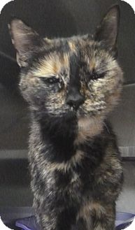 Domestic Shorthair Cat for adoption in St. Petersburg, Florida - Gia