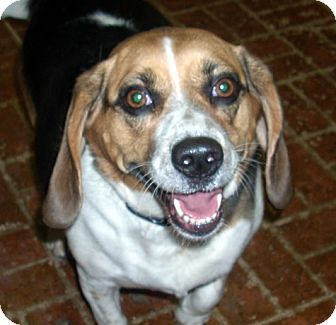 Beagle Mix Dog for adoption in Albion, New York - Sophie