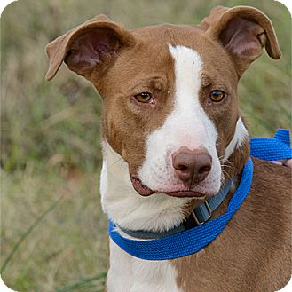 Pit Bull Terrier/Black Mouth Cur Mix Dog for adoption in Stillwater, Oklahoma - Jesse