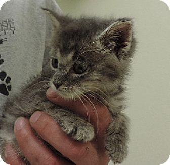 Domestic Shorthair Kitten for adoption in Sioux City, Iowa - HERCULES