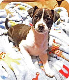 Chihuahua/Boston Terrier Mix Puppy for adoption in Bedminster, New Jersey - Boogie