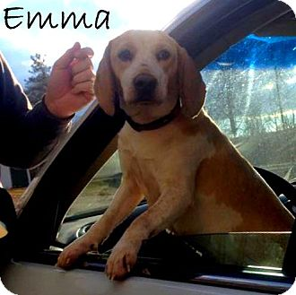 Beagle Mix Dog for adoption in New Jersey, New Jersey - Cream Ridge, NJ - EMMA