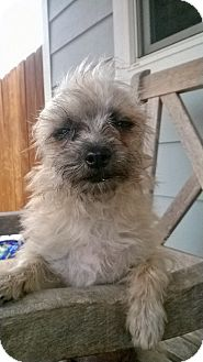 Brussels Griffon/Chihuahua Mix Dog for adoption in Santee, California - Frieda