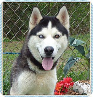Siberian Husky Dog for adoption in Marietta, Georgia - XERXES