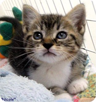 Domestic Shorthair Kitten for adoption in Key Largo, Florida - Nicole