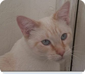 Siamese Cat for adoption in Gilbert, Arizona - Snookie