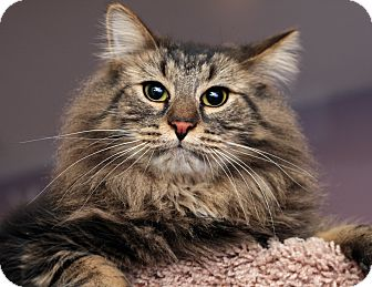 Domestic Longhair Cat for adoption in Royal Oak, Michigan - MILO