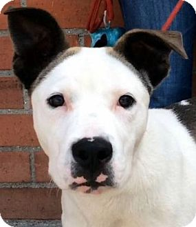 Pointer/Bull Terrier Mix Puppy for adoption in Los Angeles, California - AIDEN (video)