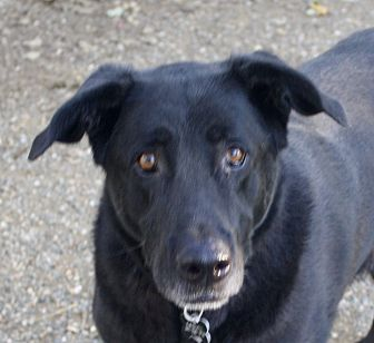 German Shepherd Dog/Labrador Retriever Mix Dog for adoption in Sacramento, California - Max!
