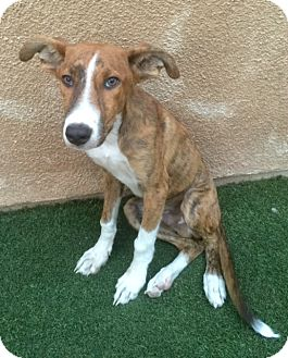 Greyhound/Shepherd (Unknown Type) Mix Puppy for adoption in Santa Monica, California - QUINCY