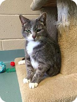 Domestic Mediumhair Cat for adoption in Lindsay, Ontario - Diamond