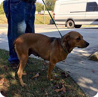 Beagle/Shepherd (Unknown Type) Mix Dog for adoption in Harrisonburg, Virginia - Emma