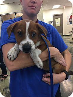 St. Bernard/Spaniel (Unknown Type) Mix Puppy for adoption in HAGGERSTOWN, Maryland - CRICKET