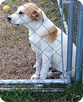 Labrador Retriever/Shepherd (Unknown Type) Mix Puppy for adoption in Waller, Texas - Cody