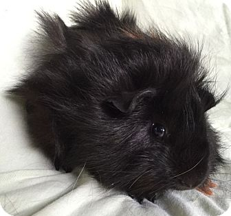 Guinea Pig for adoption in Highland, Indiana - Max