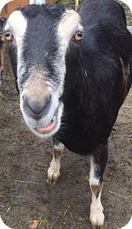 Goat for adoption in Maple Valley, Washington - Audrey
