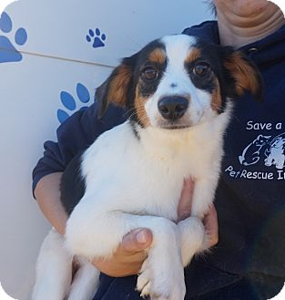 Sheltie, Shetland Sheepdog/Rat Terrier Mix Dog for adoption in Oviedo, Florida - Lucy