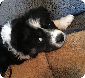 Australian Shepherd Mix Puppy for adoption in Fredericksburg, Virginia - Odessa