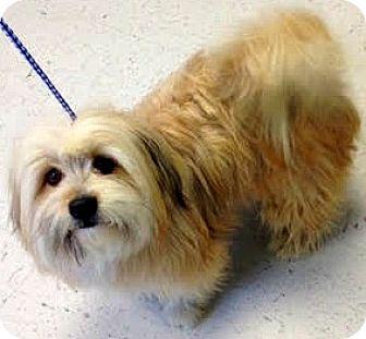 Lhasa Apso/Shih Tzu Mix Dog for adoption in Boulder, Colorado - Jiggs-ADOPTION PENDING