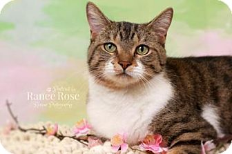 Domestic Mediumhair Cat for adoption in Sterling Heights, Michigan - Molly