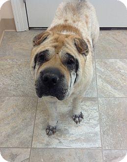 Shar Pei Dog for adoption in Urbana, Ohio - Opie