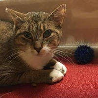 Domestic Shorthair Cat for adoption in Greenville, Delaware - Madison (FCID# 12/23/2016-111 Willow Grove)