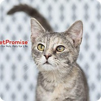 Domestic Shorthair Cat for adoption in Columbus, Ohio - Ave