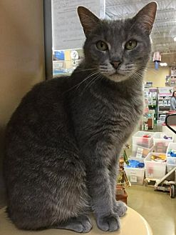 Domestic Shorthair Cat for adoption in Hamilton, Ontario - Ryan