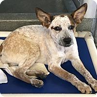 Adopt A Pet :: Cordelia (Cordi) - East Hartford, CT
