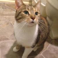 Domestic Shorthair/Domestic Shorthair Mix Cat for adoption in Anderson, Indiana - Azalea
