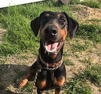 Doberman Pinscher Dog for adoption in Stroudsburg, Pennsylvania - Willow