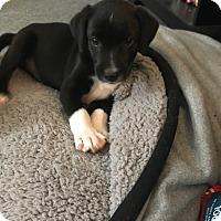 Adopt A Pet :: Otis - Hohenwald, TN