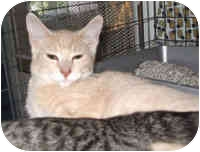 Domestic Shorthair Cat for adoption in Lombard, Illinois - Buffy