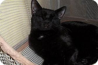 Domestic Shorthair Cat for adoption in Acme, Pennsylvania - Jett