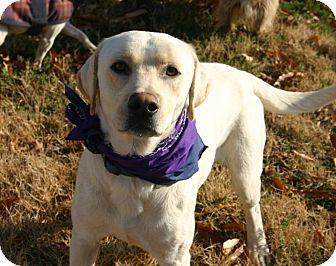 Labrador Retriever Dog for adoption in Muldrow, Oklahoma - Paladin