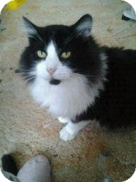 Domestic Longhair Cat for adoption in Fairborn, Ohio - Gabe-Cemetery Rescues