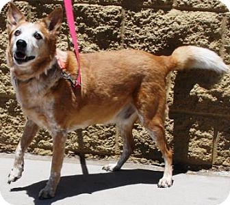 Australian Cattle Dog/Australian Shepherd Mix Dog for adoption in Gilbert, Arizona - Mojo