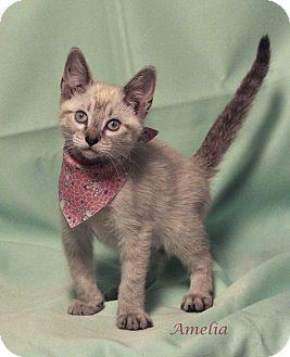 Siamese Kitten for adoption in Kerrville, Texas - Amelia