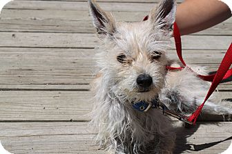 Yorkie, Yorkshire Terrier/Chihuahua Mix Dog for adoption in Waldorf, Maryland - Zadora