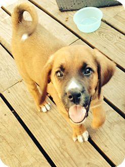 St. Bernard/Bloodhound Mix Puppy for adoption in waterbury, Connecticut - Sam